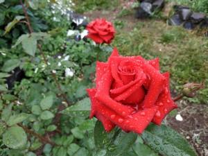 Весёлые розы